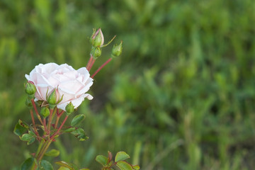 Blossomed white rose with closed buds with selective focus
