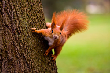 Photo sur Aluminium Squirrel Red squirrel in the natural environment