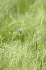 Kornblume und Feld - Cornflower And Field
