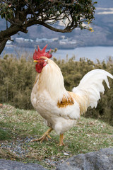 Mountain Rooster