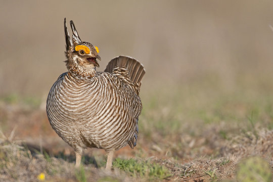 Lesser Prairie Chicken 32