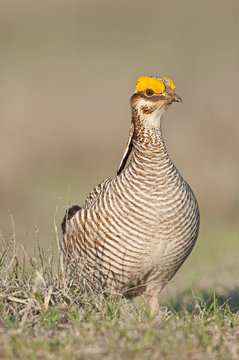 Lesser Prairie Chicken 30