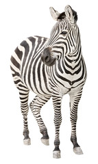 Photo sur Toile Zebra Zebra pregnant front view looking cutout