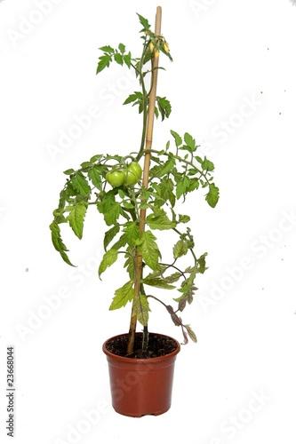 Pied de tomates photo libre de droits sur la banque d 39 images image 23668044 - Distance entre pied de tomate ...