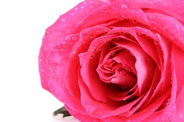 Big and beautiful pink rose. Closeup