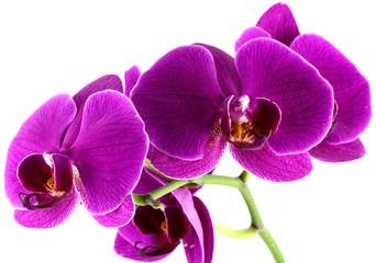 orchidée mauve, fond blanc