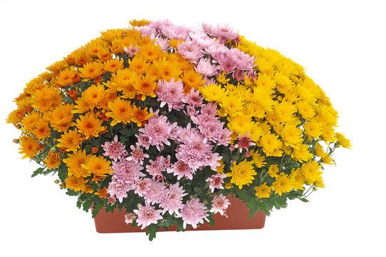 chrysanthème en jardinière
