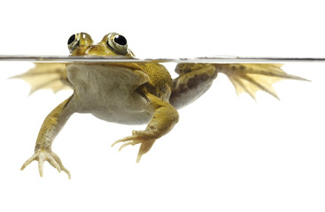Foto op Aluminium Kikker green pond frog swimming isolated on white