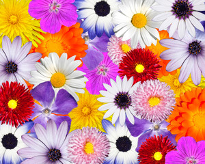 Multicolored Floral Background. Mix of Colorful flower heads