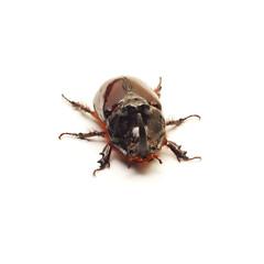 beetle isolated