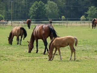 Viele Pferde