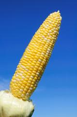 Bi-Color Corn on the Cob