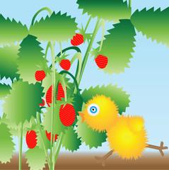 The chicken runs to berries
