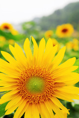 the closeup of Beautiful yellow Sunflower petals