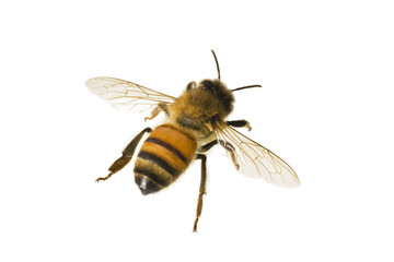 Printed kitchen splashbacks Bee Bee, Apis mellifera