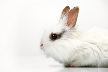White fancy rabbit on the white background in the studio