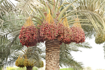Colouful dates bunches all along the date palm tree