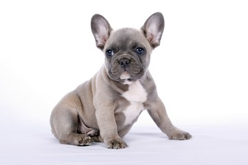 French Bulldogge Welpe