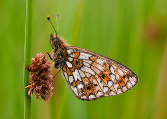 Small Pearl Bordered Fritillary butterfly (Clossiana selene)