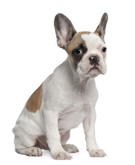 French Bulldog puppy, 3 months old, sitting