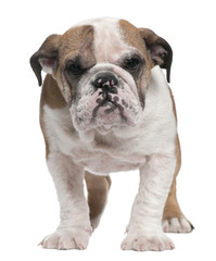 English Bulldog puppy, 4 months old, standing