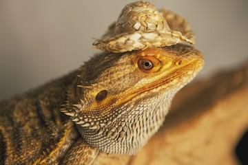 Lizard Wearing A Cowboy Hat