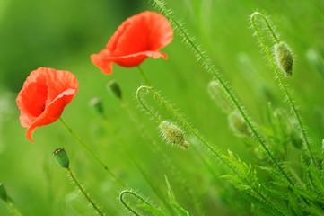 Fotoväggar - Beautiful Poppies