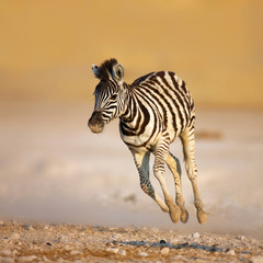 Photo sur Toile Zebra Baby zebra running