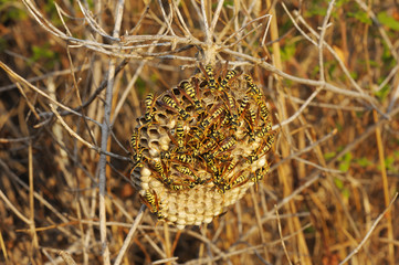 Wasps nest in the grass