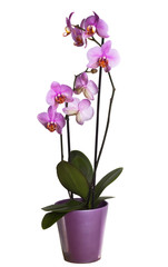 Pink orchid in a flowerpot on white background