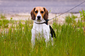 Young beagle dog sitting in a grass