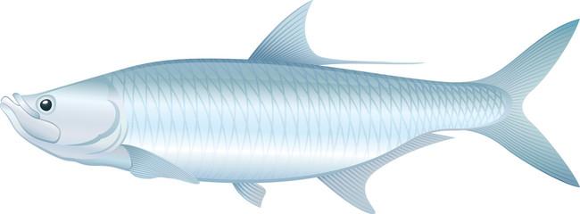 Tarpon - Vector illustration of saltwater fish.