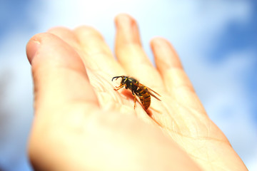 Wasp resting on the palm with sky background . Flie to freedom