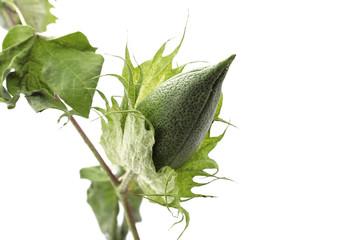 Bouton de fleur de coton