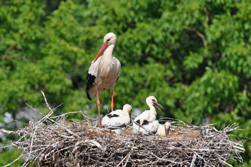 stork on nest with 3 young birds