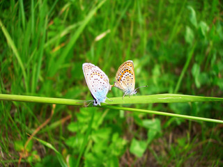 Two butterflies on a blade of grass making love