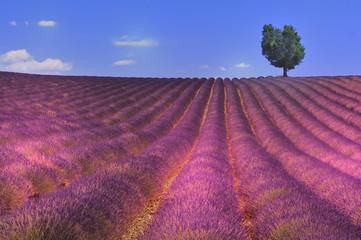 panorama d'un champs de lavande avec arbre perdu