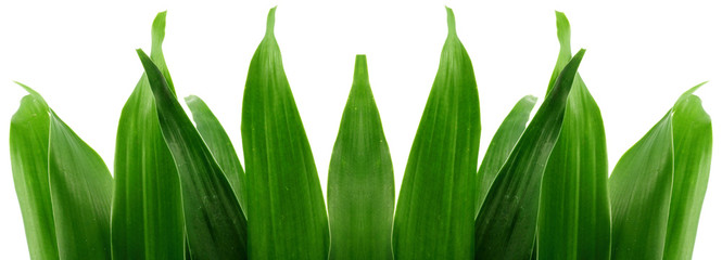 bordure de feuilles du bambou bonheur, fond blanc