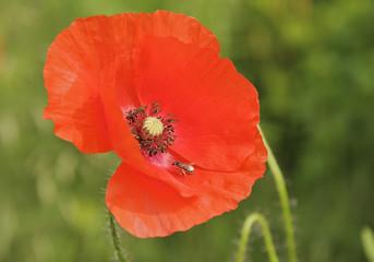 Foto op Plexiglas Klaprozen Einzelne Roter Mohn Pflanze mit Biene in der Blüte