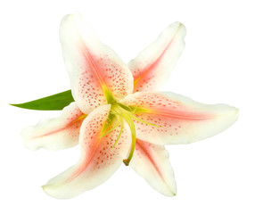 One white-pink lily with green leaf