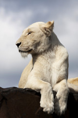 white lioness - paws hanging over.