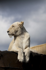 side profile white lioness - moody sky