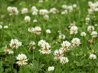 white clovers on meadow
