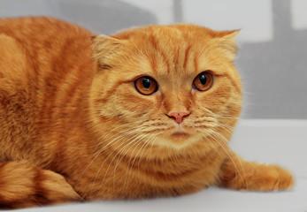 scottish fold purebred red cat