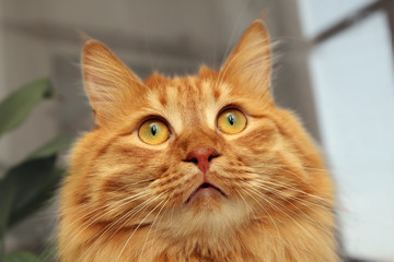 bobtail red cat looking up