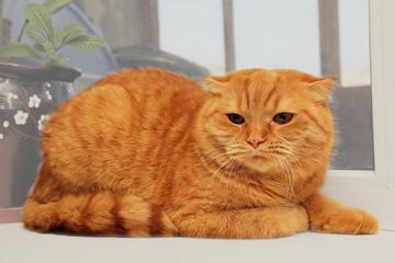displeased scottish fold red cat