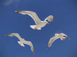 Seagulls Hovering