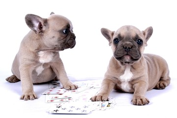 French Bulldog Puppies & Poker Cards