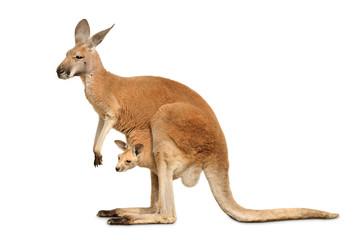 Fotobehang Kangoeroe Känguruweibchen mit Jungtier auf weiß