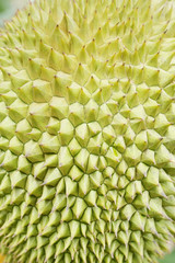 durian thorn closeup